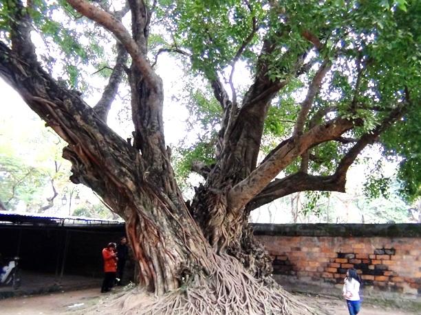 文廟にある大樹