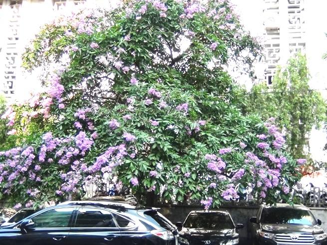ハノイの夏の花「Bang Lang」