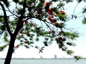 ベトナム人の心を癒やす「Hoa Phuong」の花