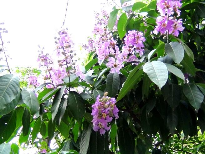 夏本番を告げるハノイの花「Bang Lang」