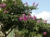 学生の花、友情の花「Bang Lang」