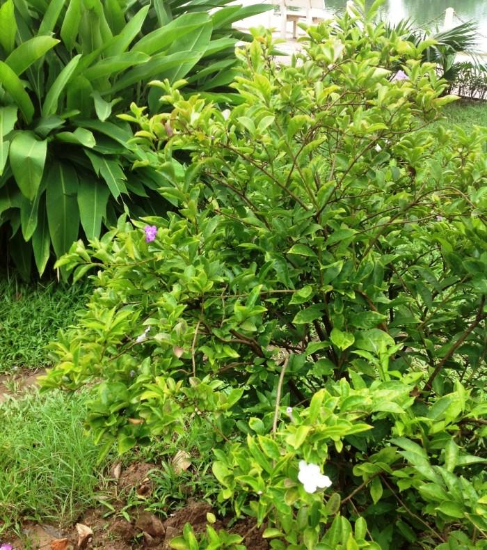 ハノイの秋の花「同じ木に白と紫の違う色の花が咲きます」