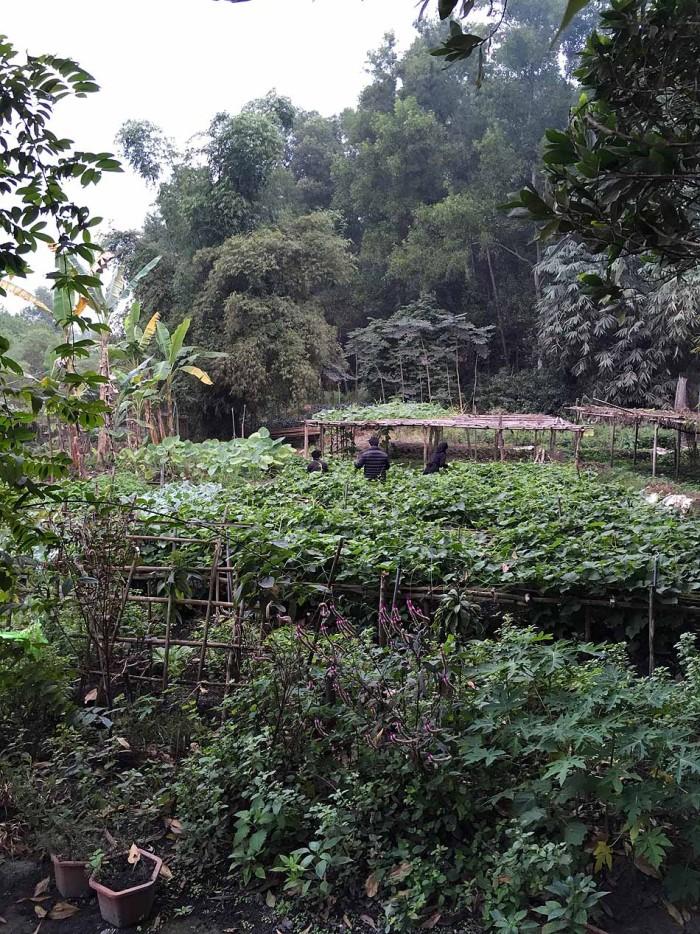 朝の6時、タイ族の方々と野菜の収穫を手伝う山崎さん
